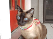 Kazoo, seal point Siamese