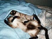 Nicky and Koko, the Monkeyboys, seal point Siamese